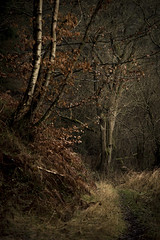 Passing by (Rob Scamp) Tags: woodland woods trees leaves herefordshire birches forest birch robscamp nikon d810