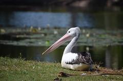 Pelican de Cairns