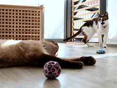 Kitty playtime shoot (Lottie's pets & stuff) Tags: blue urban cats pets playing animals cat point snowshoe toys grey eyes colorful gray kitty siamese seal kitties colourful