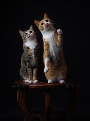 Manekineko (rampx) Tags: cat ginger pentax calico neko   irori miaw hiyori 645z
