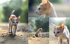 Morning sunshine! (pacifictiger) Tags: morning sunshine cat village konkan