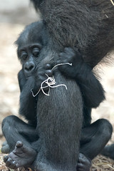 Baby Gorilla Holding on Tightly (Eric Kilby) Tags: park baby animal zoo franklin gorilla massachusetts ape primate aziza westernlowland