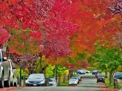 Arbutus Ridge (SqueakyMarmot) Tags: autumn trees urban fall leaves vancouver colourful neighbourhood arbutusridge west19thavenue