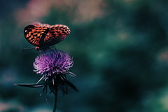 azami to choucho (N.sino) Tags: butterfly thistle voigtlander jindaiji     xt1   nokton50mmf11