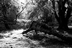 (sarahmcomish) Tags: blackandwhite sunlight tree monochrome shadows peaceful serene forests