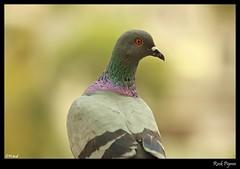 Rock Pigeon (Mitesh S) Tags: india birds canon rebel pigeon pashan pune xsi 450d 55250mm