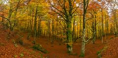 Otoño (Alfredo.Ruiz) Tags: canon bosque panoramica otoño hayedo ef1740 entzia eos6d