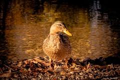 Duckie (Lars-Ove Törnebohm) Tags: autumn birds duck anka fågel tornephoto