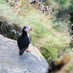 Atlantic_puffin_Fratercula arctica_2_x1500 (pottomann) Tags: island iceland puffin papageientaucher westmnnerisland