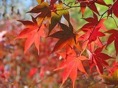 reds of November (Vicki's Nature) Tags: november autumn red green leaves canon georgia maple japanesemaple s5 twocolors 1162 vickisnature gibbsgardens