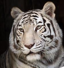 witte tijger Ouwehands JN6A6070 (j.a.kok) Tags: tiger tijger whitetiger ouwehands bengaltiger wittetijger pantheratigristigris