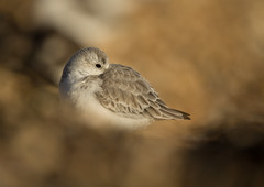 Sanderling (Markp33) Tags: