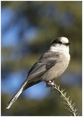 Grey Jay (ROHphotos.) Tags: birds jays provincialpark greyjay algonquinprovincialpark