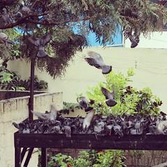 Birds !!! #pigeons #fly #fighting #lovethis #followme (vdhanya97) Tags: fly pigeons fighting