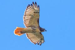 Red-tailed Hawk (Bill7870) Tags: bird boundrycreekpark canon canon400mmf4do canon7dmk2 geotagged nature newjersey nj rancocascreek redtailedhawk hawk