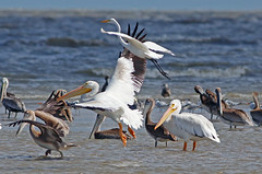 Great Egrets, American White Pelican, Brown Pelican (1krispy1) Tags: egrets pelicans americanwhitepelican brownpelican greategret texasbirds