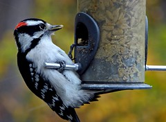 Feeder Update (mudder_bbc) Tags: backyardwildlife feeders birdfeeders woodpeckers downywoodpecker birds