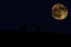 Supermoon Hunter's moon (snooker2009) Tags: supermoon hunters moon pennsylvania october fall sky deer whitetail full lunar night bright