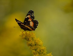 Got, got, got no time. (Kreative Capture) Tags: butterfly depthoffield pretty wings yellow black spots gold golden goldenrod plant flower wildflower texas nikkor nikon d7100 outdoors bordered patch nymphalinae