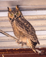 Owl in Barn (Jayaretea Snaps) Tags: bird birdofprey greathornedowl nature owl wildlife syracuse utah unitedstates
