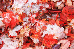 First Snow / Premire neige (tofason) Tags: automne fall snow neige