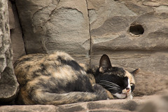 La guardiana de los templos milenarios. Angkor (Camboya - -) (Egg2704) Tags: gato gatos cat cats felino felinos animal animales animalia naturaleza camboya   templosdeangkor angkor egg2704