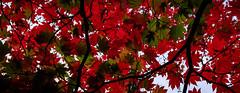 Westonbirt Arboretum Red Leaves Overhead (Ghosty_87) Tags: 2016 autumn fall landscape october westonbirt2016 leaves westonbirt england unitedkingdom gb