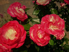 Rosenbschel, 75212/7414 (roba66) Tags: blumen blume blten flower blossom roba66 fleur flori flor flora flores bloem plants pflanzen garten garden jardin giardini park nature natur naturalezza rosen roses