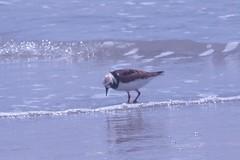 Ruddy Turnstone (BirdWatcher6723) Tags: 2012 beaches birds gulfs nature padreisland plovers ruddyturnstones texas unitedstates water wildlife arenariainterpres