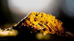 Autumn I (doc_black44) Tags: voigtlnderapolanthar125mmf25sl voigtlnder apo lanthar 125mm f25 sl herbst colours farben autumn pentax k1 m42