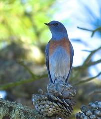 western bluebird male (minicooper93402) Tags: los osos valley road san luis obispo shade heat wave western bluebird male