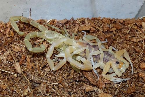 Arizona Bark Scorpion (Centruroides sculpturatus), post