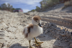 Who is Mum (Jason Whittle Photography) Tags: chick duckling babybird sand beach southaustralia sa