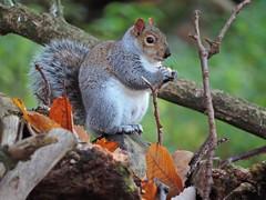 Grey squirrel (PhotoLoonie) Tags: squirrel greysquirrel animal wildanimal wildlife autumn nature