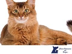Gato Somali. CLINICA VETERINARIA DEL BOSQUE 3 (tipsparamascotas) Tags: veterinariadelbosqueveterinariacuidadodemascotasmascotassaludablesesteticacaninaclinicaveterinariadelbosqueespecialistasencuidadodemascotaswwwveterinariadelbosquecomveterinariadelbosque veterinaria cuidadodemascotas mascotas mascotassaludables estticacanina delbosque