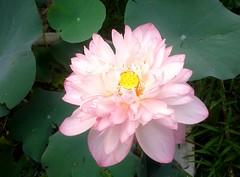 Lotus_01 (Arnab1973) Tags: flowersofindia nelumbonucifera pinkflower lotus pinklotus pink