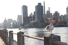 Gulls and Manhattan (robincagey) Tags: new york city nyc roosevelt island december siteseeing exploration urban gulls seagulls manhattan