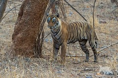 Patience (fascinationwildlife) Tags: animal mammal wild wildlife nature natur national park tiger female predator big cat forest summer asia india ranthambhore tigress bengal