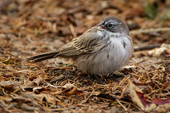 Sagebrush Sparrow-8603G (Paul*Nelson) Tags: michigan michigansupperpeninsula sagebrushsparrow sparrow up upperpeninsula whitefishpoint bird rarebird