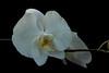 _MG_7837 (zet11) Tags: storczyki bali para młodych banan kwiat