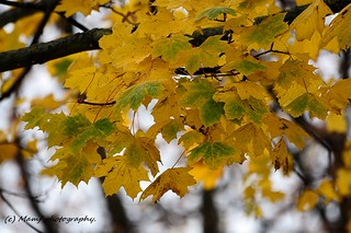 Golden - Autumn (Fall) leaves on the tree.