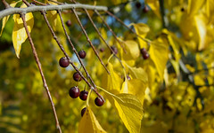 Berries of Autumn (vp1337) Tags: autumn epl3 m43