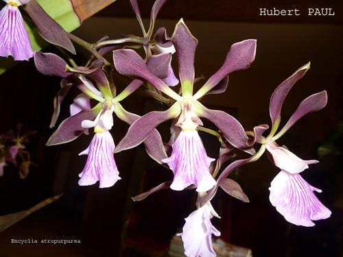 Hubert PAUL - Encyclia atropurpurea-1 copie