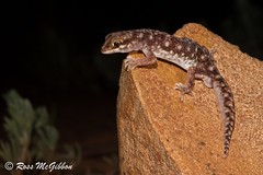 Eastern beaked gecko (Rhynchoedura ormsbyi) Bollon, QLD (ross.mcgibbon) Tags: reptile geckoes gecko lizard herpetology herpphotography australia wildlife scales gekkonidae canon700d tails reptiles species amazingeyes coolpatterns claws claw tail terrestrial arboreal prehensile herping nature conservation fauna flora animals animal habitat deserts sand sun sunset sky rainforest storm clouds northern southern eastern western red green blue yellow travel outback photography canon macro slr lens camera photo image shot