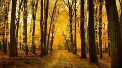 Golden Forrest ... (Alex Verweij) Tags: gold golden forrest bos bospad water rain tree boom bomen trees alexverweij canon 5d yellow geel autumn herfst herfstvakantie herfstkleuren sfeer markiii november 2016