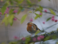 Robin rose (Bernardvinc) Tags: red rose light bird robin nikon nikkor oiseau animal wildlife