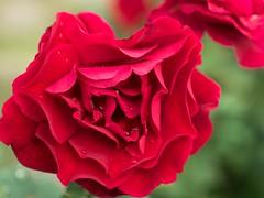 Full bloom (MRGVA) Tags: redrose sonya77ii sal1650 close up flower