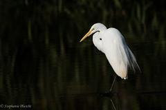 Great Egret (stephaniepluscht) Tags: alabama 2016 twelve mile twelvemile creek mobile botanical gardens great egret wings