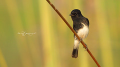 Pied Bush Chat (Wasif Yaqeen) Tags: piedbushchat piedbushchatmale bushchat nature wildlife birds birdsofpakistan pakistanwildlife wildlifeofpakistan animals pakistannature wasifyaqeen wasif animalplanet nationalgeographic outdoor birdsinnaturalhabitat birdshabitat pakistan wasifyaqeenphotography