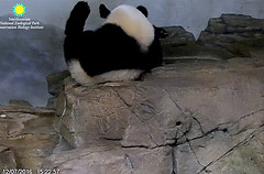 I do more ethercizes wike my dogter awdered.  ./sx62.png (heights.18145) Tags: smithsoniansnationalzoo beibei meixiang corner panda bear pandabear cuteanimals bearcubs motheranimals ccncby
